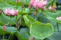 蓮池のヨシゴイ2 - 比企丘陵の自然