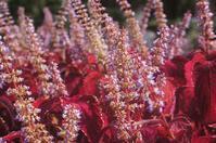 シソ科の植物 - ネコと裏山日記