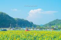 真夏の向日葵。 - Yuruyuru Photograph