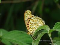 淀川河川敷で蝶(ツマグロヒョウモン)撮りました。 - 写真で楽しんでます! スマホ画像!