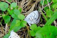 仲良しヤマトシジミ、他、蝶いろいろなど - ぶらり散歩 ~四季折々フォト日記~