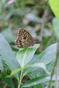 白樺とキマダラモドキ - 蝶超天国