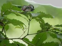 在来種ゴマダラチョウと外来種アカボシゴマダラ - 花と葉っぱ