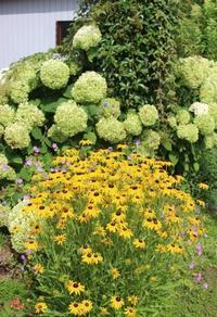 今年もアナベルのドライフラワー作り♪ - ペコリの庭 *