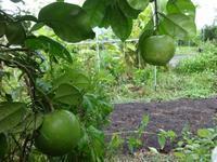 グレープフルーツ - だんご虫の花