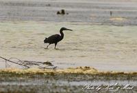 南の島3日目「クロサギ」さん~Σ^) - ケンケン&ミントの鳥撮りLifeⅡ