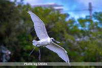 クロツラヘラサギ - 野鳥 飛翔フォト