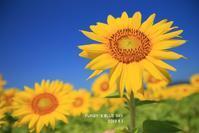 ヒマワリ***・Ⅲ - FUNKY'S BLUE SKY