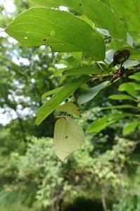 ヤマキチョウのぶら下りと各種セセリ - 蝶超天国