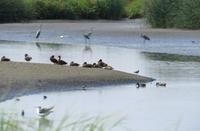 星が浦河口の鳥さんたち - 湿原と海のそばで