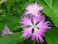 野の花と虫(ホソオビアシブトクチバは初見です) - 花と葉っぱ