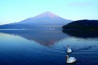 令和元年8月の富士(3)山中湖の白鳥と富士 - 富士への散歩道 ~撮影記~