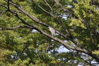 久しぶりにササゴイの探鳥へ - 私の鳥撮り散歩