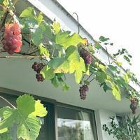 鉢植えのブドウの収穫 - 緑のしずく (ベランダガーデン便り)
