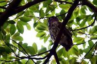 アオバズク雛が飛んでいた - 野の鳥  撮る録 in湘南