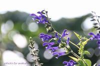 暑さに負けずに咲く、芙蓉の花とメド-セ-ジ- - 自然のキャンバス