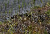 クロを越えて:タマシギ/カイツブリ幼鳥 - 赤いガーベラつれづれの記