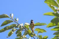 夏のヤマガラ - SWAN