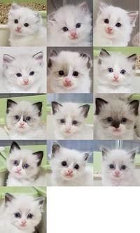 6月生まれの仔猫たち家族募集開始いたしました♪ - ラグドールブリーダーの日々 We are ragdoll   by fanydoll