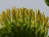 50年に1度咲くと言うアオノリュウゼツランの花を冥途の土産に見て来た♪日比谷公園♪ - ルソイの半バックパッカー旅