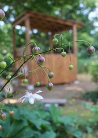 神秘なレンゲショウマ&お礼 - ペコリの庭 *