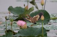 調整池のヨシゴイその15 - 私の鳥撮り散歩