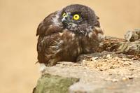 アオバズクのヒナ - barbersanの野鳥観察