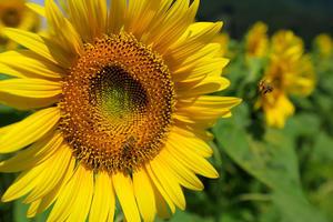 ひまわり畑の蜜蜂と蝶 -