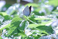 ウラギンシジミ(蝶) - SWAN
