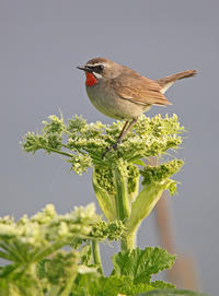 納沙布岬のノゴマ。 - 季節の野鳥~Wildbirds archives