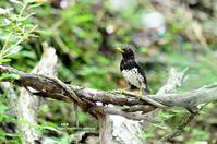 水場のクロツグミ - azure 自然散策 ~自然・季節・野鳥~