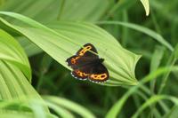 クモマベニヒカゲ高山の蝶たち - 蝶のいる風景blog