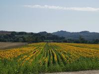 南トスカーナはヒマワリの季節です - フィレンツェ田舎生活便り2
