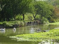 8月の白鳥たち - フランス Bons vivants des marais Ⅱ
