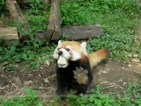 池田動物園の旅行記を姉妹ブログ「レッサーパンダ紀行」にアップしました - (続)レッサーパンダ紀行