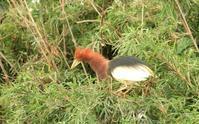 アカガシラサギが出てきた - barbersanの野鳥観察