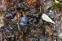 鉢伏山で虫撮り甲虫編 - 不定期更新 彩都付近の自然観察日記