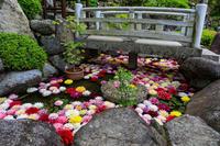 華の池~水面に浮かぶ天竺牡丹~ (岡寺) - 花景色-K.W.C. PhotoBlog
