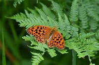 オオウラギンスジヒョウモン - 蝶と自然の物語