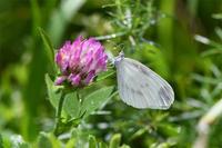 山梨ヒメシロチョウ - 蝶と自然の物語