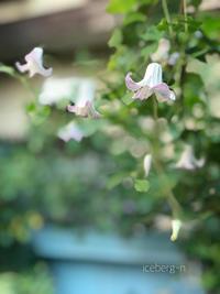 裏庭のクレマチス - 小さな庭 2