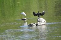 野鳥 大和川 大阪府内 2019年8月上旬 - 大和川野鳥撮影日記 大阪府内限定  鳥達の勝手気ままな生活を撮影  絶好の場面を期待し、通っています