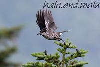 今年も御嶽山へ - 鳥撮りDAIRY