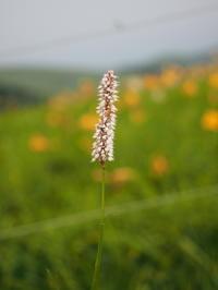 霧ケ峰高原は花畑~その1 - コーヒー党の野鳥と自然パート3
