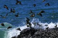 アオバトの飛来する浜 - 湘南発〜ドラマチックに