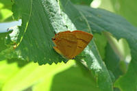 ムモンアカシジミゴマシジミの保護地で - 蝶のいる風景blog