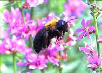 クマバチ - 動物園の住人たち写真展(はなけもの写眞館)