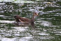 バンのベビーシッター/昨日のハイタカの公園で - 今日の鳥さんⅡ