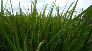 手賀沼夏8月、北千葉導水路の機場近く、田んぼの稲の穂が出ました!機場公園の林の中を歩くとミンミンゼミの声が聞こえ、セミがばらばら飛び立つ! -