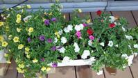 満開の満開 - うちの庭の備忘録 green's garden